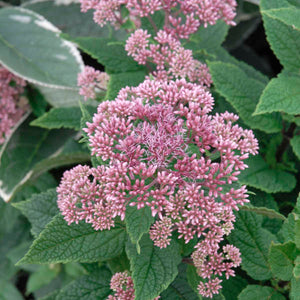 The misty pink blooms of dwarf Joe Pye weed, Little Joe