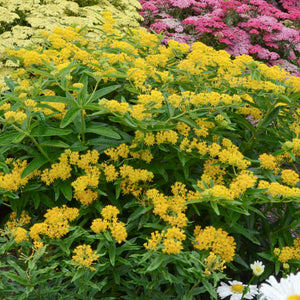 'Hello Yellow' Milkweed shines with bright yellow flowers