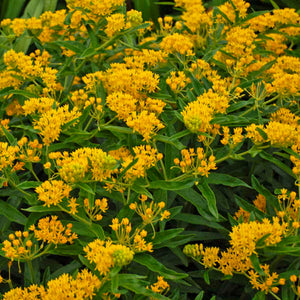'Hello Yellow' Milkweed blooms prolifically in summer