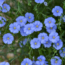 Load image into Gallery viewer, Linum lewisii - Wild Blue Flax