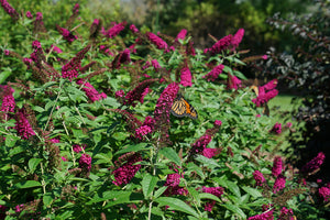 Miss Molly butterfly bush covered in bright pink-red blooms and a monarch butterfly on it