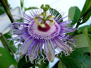 Native maypop in bloom