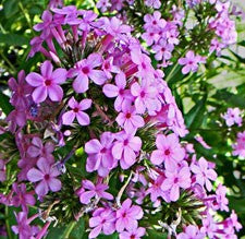 Phlox paniculata Jeana attracts butterflies with its pink flowers