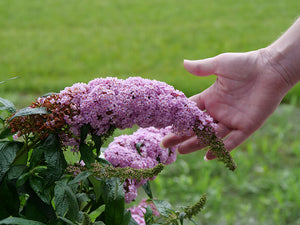 The very large, full flowers of Pugster Pink butterfly bush with a human hand for scale