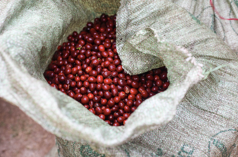 Red Bourbon freshly picked at San Cayetano.