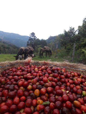 Red Caturra and Varidad Colombia _DropCoffee