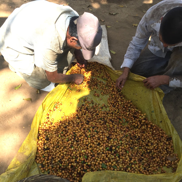 Finca Nejapa, Washed Yellow Caturra, El Salvador