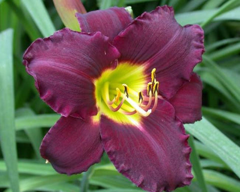 true burgundy purple hemerocallis with a smooth velvet like finish and soft lemon lime throat