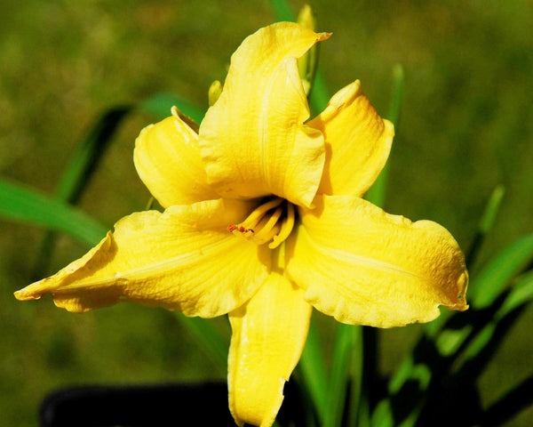 Eenie Weenie - Strictly Daylilies