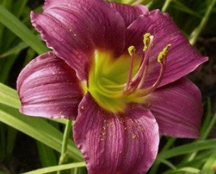 Violet plum small flower daylily with lime green throat.