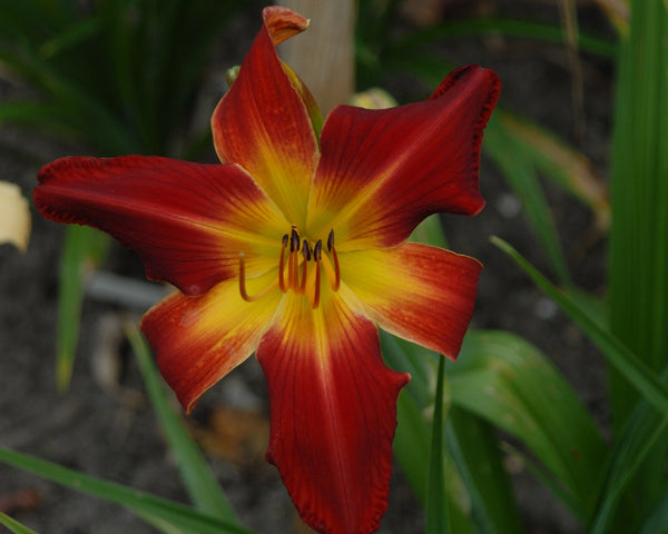 Red unusual form hemerocallis bloom