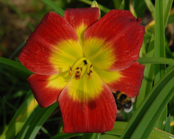 Christmas Is - Strictly Daylilies