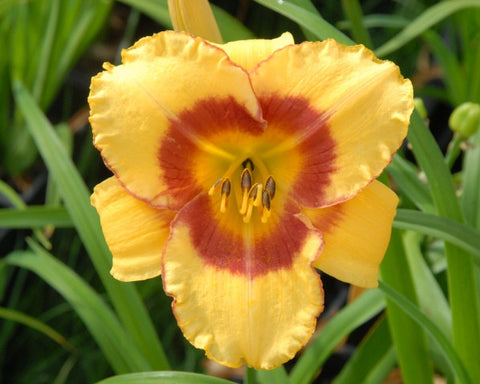 A cheery golden yellow bloom on this daylily with a standout cheeky red eye above green throat.