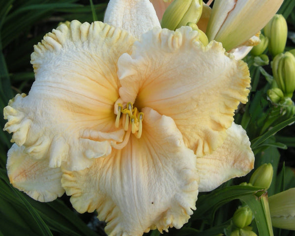 Enchanted Forest - Strictly Daylilies