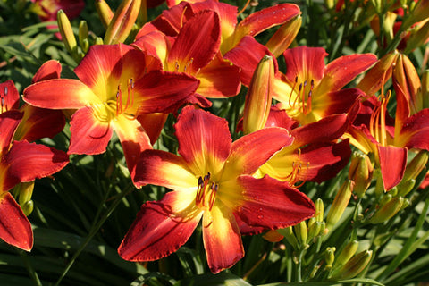 Multi blooms of bright vibrant red unusual form daylily blooms with a large yellow throat.