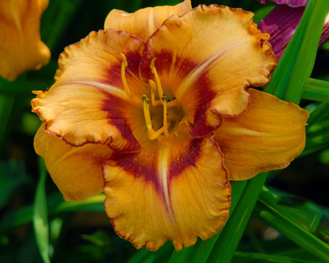 Daylily blooms are orange with red eyezone and red edge above a green throat.