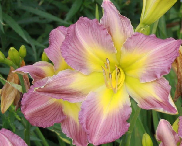 Amerstone Amethyst Jewel - Strictly Daylilies