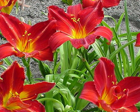 Big deep red velvety daylily blooms with yellow green throat.