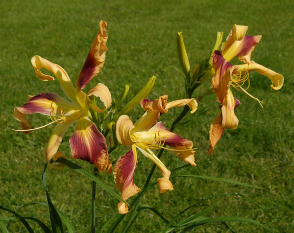 Apple Swirl - Strictly Daylilies