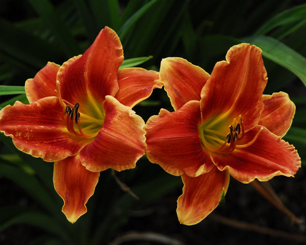 Amber red and tan bitone daylily with a red orange eyezone, yellow green throat and lighter, slightly ruffled edge