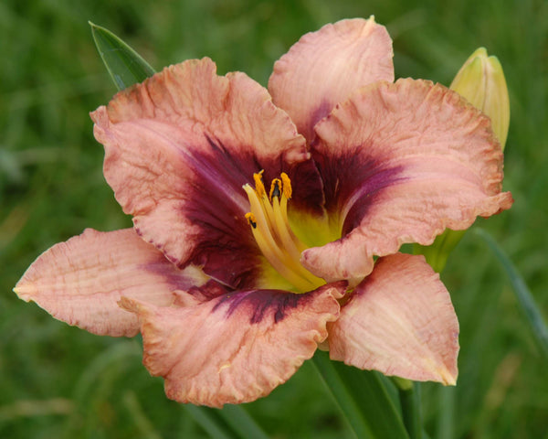 Awesome Blossom - Strictly Daylilies