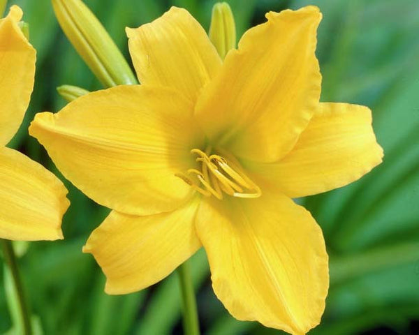 Berlin Yellow - Strictly Daylilies