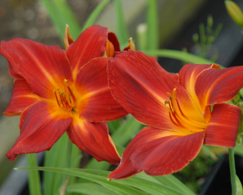 Buzz Bomb - Strictly Daylilies