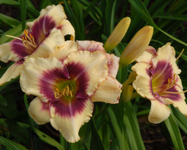 Cindy's Eye - Strictly Daylilies