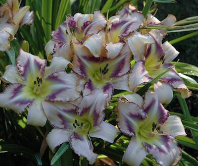 Destined to See - Strictly Daylilies