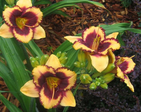 Eye on America - Strictly Daylilies