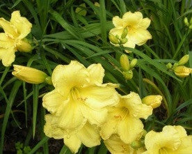 Fragrant Reflections - Strictly Daylilies