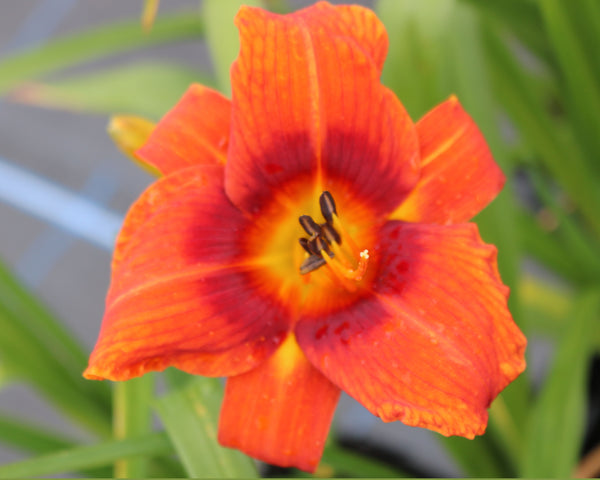 Holiday Delight - Strictly Daylilies