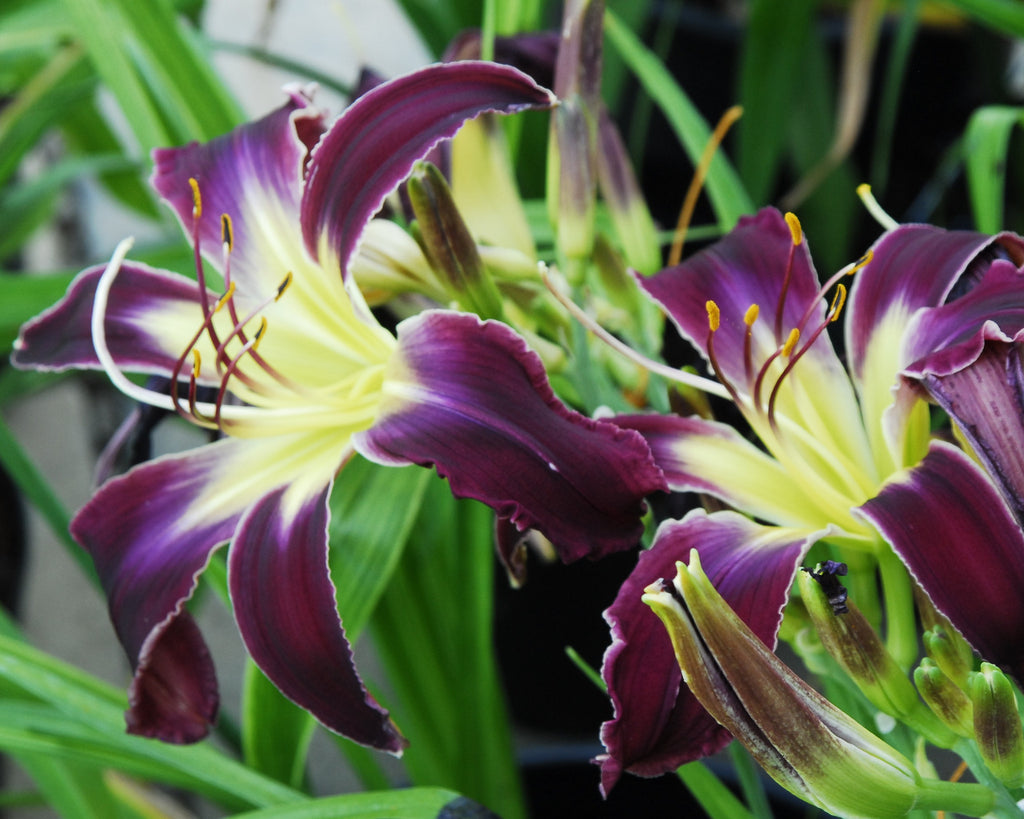 Hemerocallis Violent Thunder Strictly Daylilies