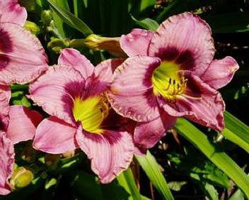 Always Afternoon - Strictly Daylilies