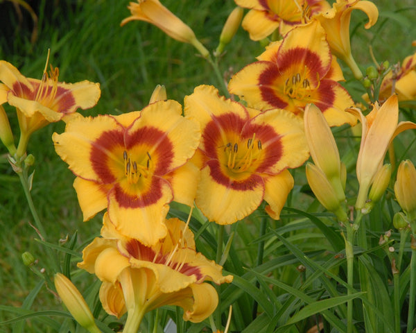 Cheery golden yellow blooms on this daylily with a standout cheeky red eye above green throat.