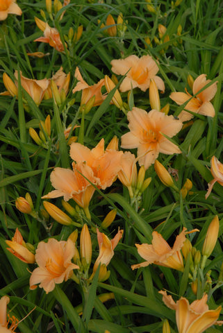 Pinkish melon daylily flowers