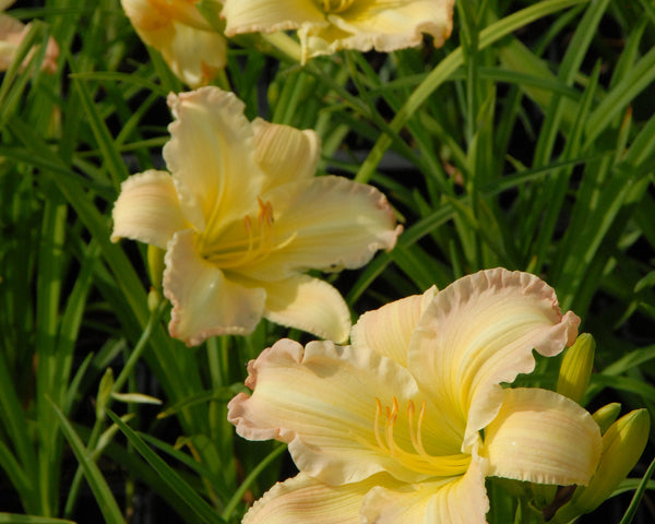 Beautiful Edgings - Strictly Daylilies