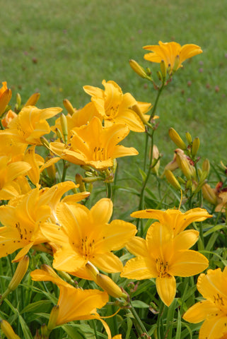 Cartwheels - Strictly Daylilies