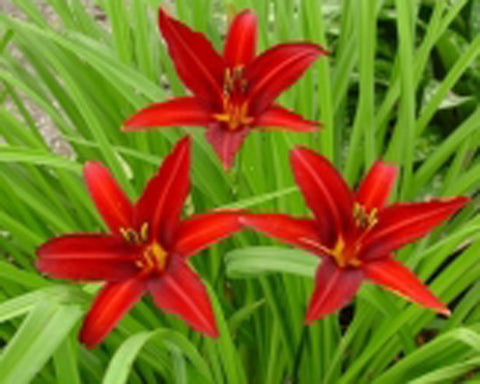 Crimson Pirate - Strictly Daylilies