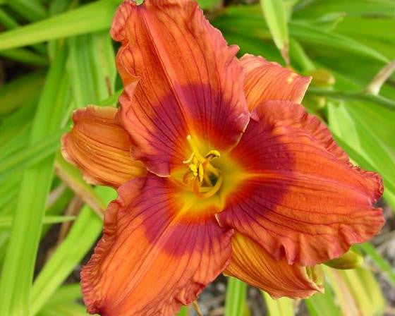 Duke of Durham - Strictly Daylilies
