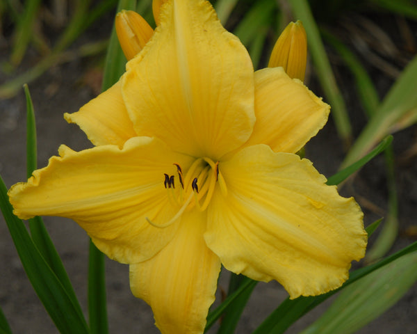 Humdinger - Strictly Daylilies