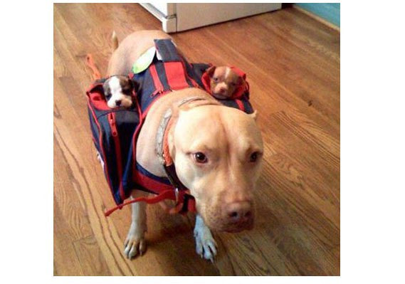 Puppy Carriers - They Are A Thing Actually