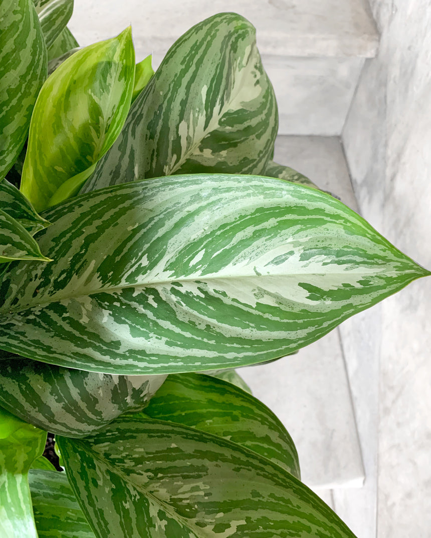 Aglaonema Ruby 6""