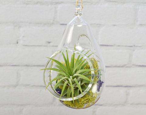 Air Plant Terrarium // Clear