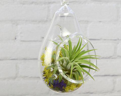 Air Plant Terrarium + Clearly