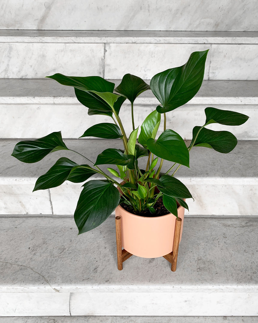 Peaches Sunset Planter 4in
