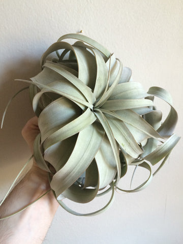 XL Tillandsia Xerographica