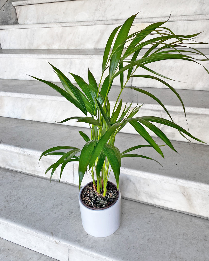 Kentia Palm 8""