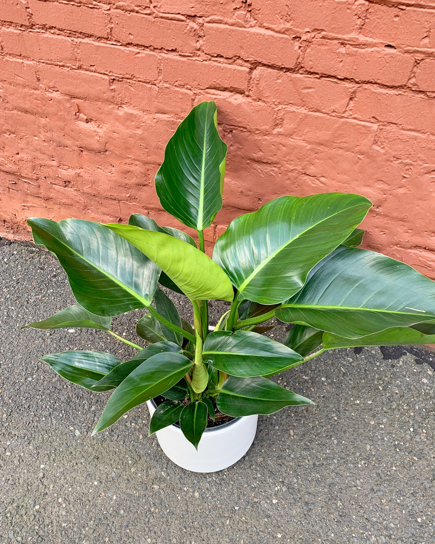 Philodendron Congo - Green 10""