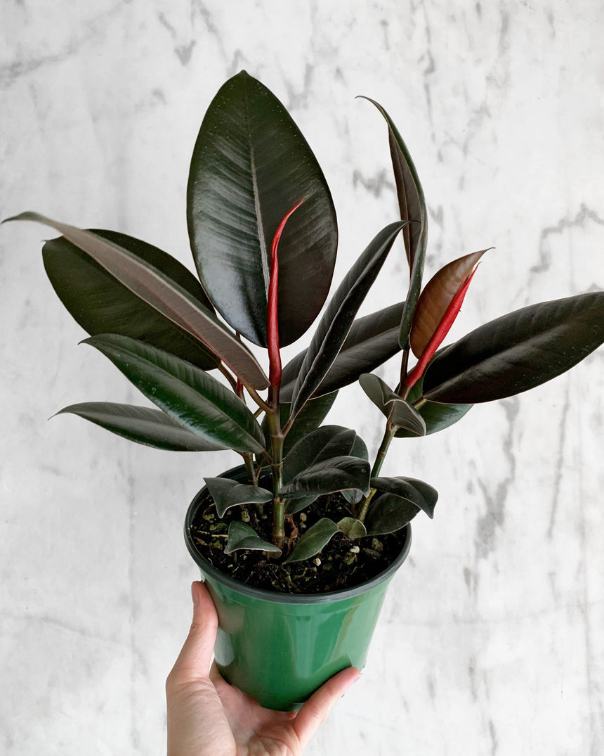 Rubber Tree - Burgundy - 6""